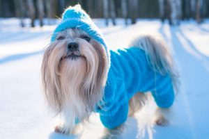Dog in cute blue sweater and hat