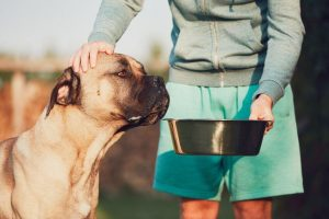 Cane corso being fed outside by young man