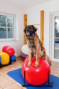 leonberger dog on exercise ball