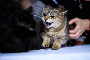 aggressive cat | Ultimate Pet Nutrition