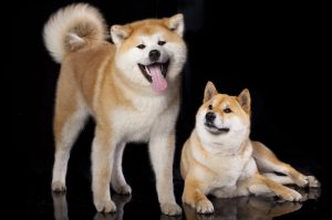 akita and shiba inu dogs | Ultimate Pet Nutrition