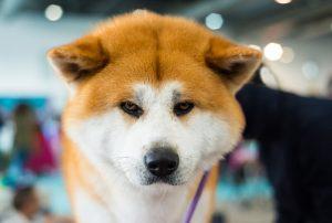 akita inu dog | Ultimate Pet Nutrition