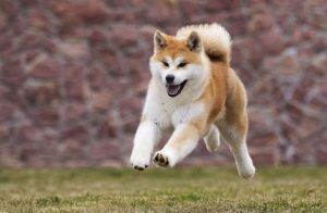 akita inu dog running | Ultimate Pet Nutrition