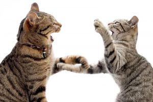 cats fighting | Ultimate Pet Nutrition