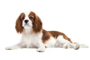cavalier king charles spaniel | Ultimate Pet Nutrition