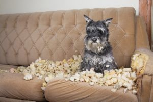 dog eating couch | Ultimate Pet Nutrition