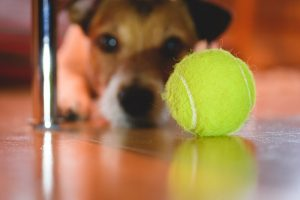 dog looking for ball | Ultimate Pet Nutrition