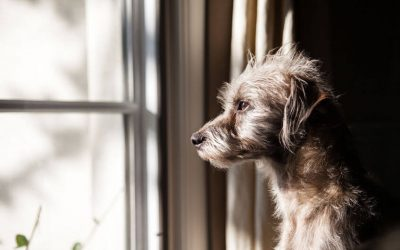 dog looking out window | Ultimate Pet Nutrition