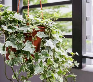 english ivy plant | Ultimate Pet Nutrition