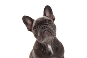 french bulldog | Ultimate Pet Nutrition