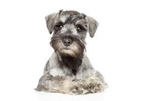 mini schnauzer | Ultimate Pet Nutrition