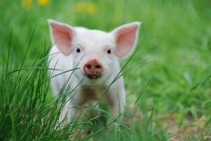 piglet in grass | Ultimate Pet Nutrition