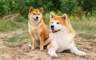 Shiba Inu Vs Akita: What Are The Main Differences Between The Two?