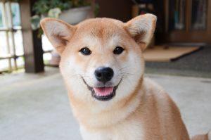 shiba inu dog | Ultimate Pet Nutrition