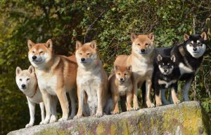 shiba inu pack of dogs | Ultimate Pet Nutrition