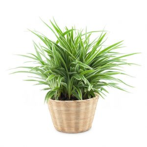 spider plant | Ultimate Pet Nutrition