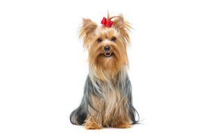 yorkshire terrier | Ultimate Pet Nutrition
