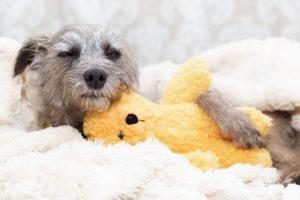 dog asleep with eyes open holding teddy bear
