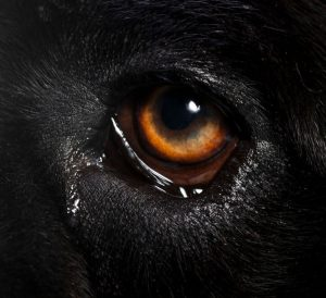 dog eye discharge | Ultimate Pet Nutrition