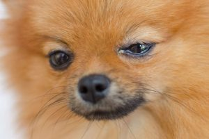 eye discharge in dogs | Ultimate Pet Nutrition
