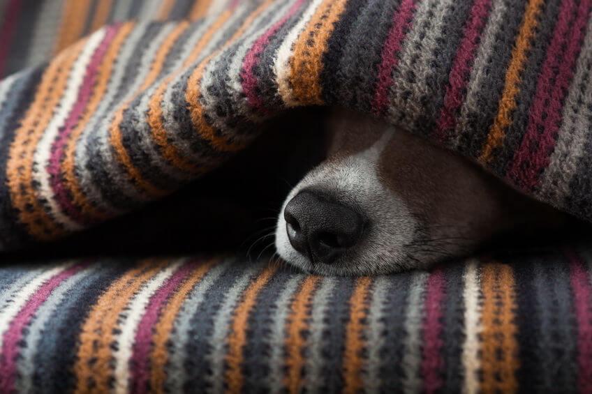 dog sleeping under blanket | Ultimate Pet Nutrition