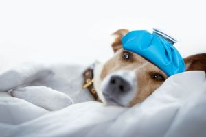 dog with ice bag sick dog concept| Ultimate Pet Nutrition