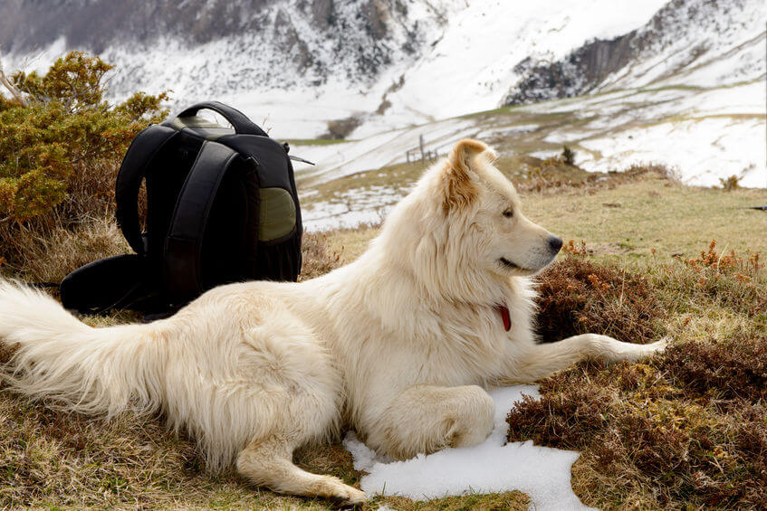 Great pyrenees with suitcase | Ultimate Pet Nutrition
