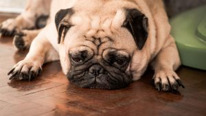 sleepy pug | Ultimate Pet Nutrition