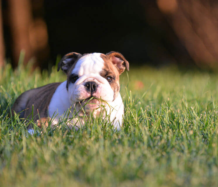 dog eating grass | Ultimate Pet Nutrition