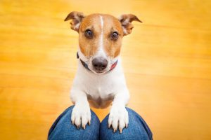 why do dogs pace   Ultimate Pet Nutrition