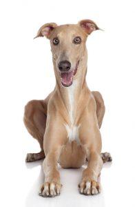 greyhound dog | Ultimate Pet Nutrition