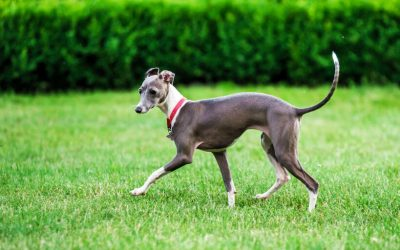 Dog Breeds: What You Should Know About The Italian Greyhound