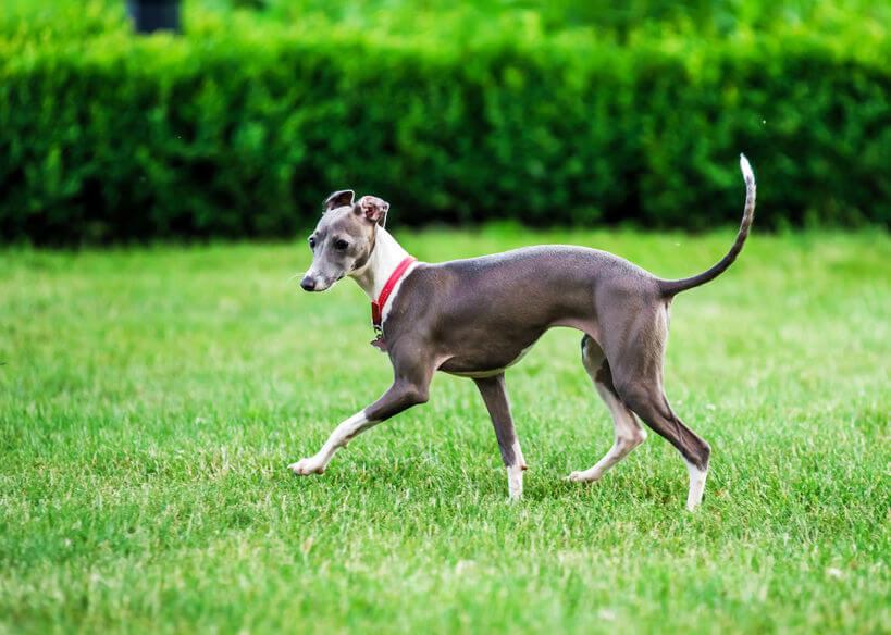 italian greyhound | Ultimate Pet Nutrition