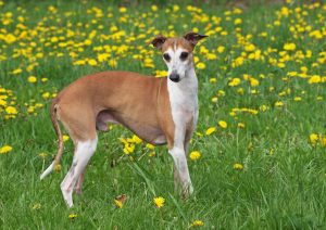 italian greyhound dogs   Ultimate Pet Nutrition
