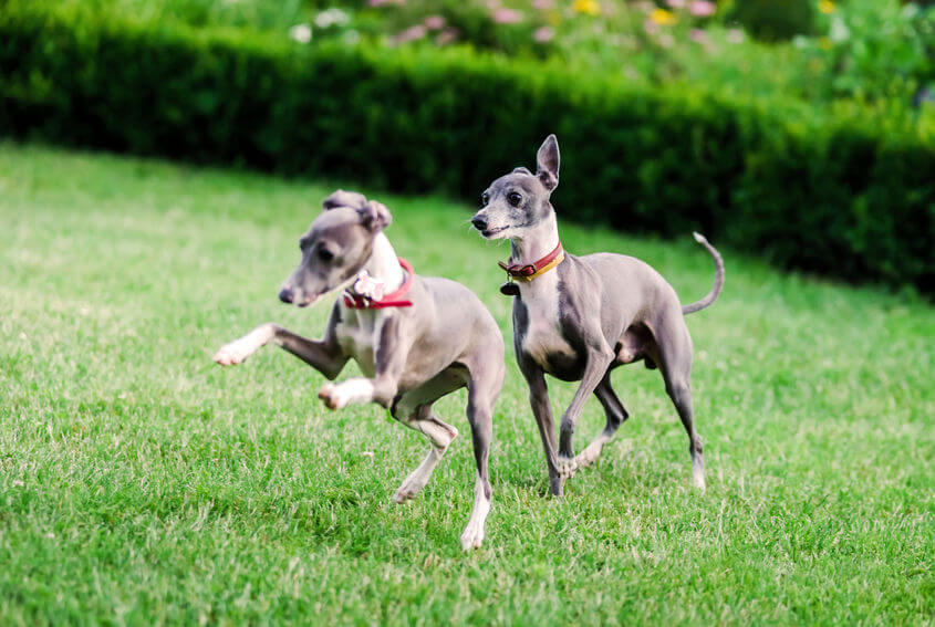 italian greyhound dogs playing | Ultimate Pet Nutrition