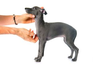 italian greyhound puppy | Ultimate Pet Nutrition