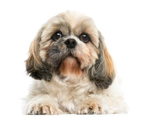 shih tzu dog | Ultimate Pet Nutrition