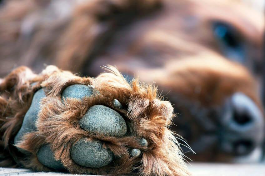 lazy dog paw | Ultimate Pet Nutrition