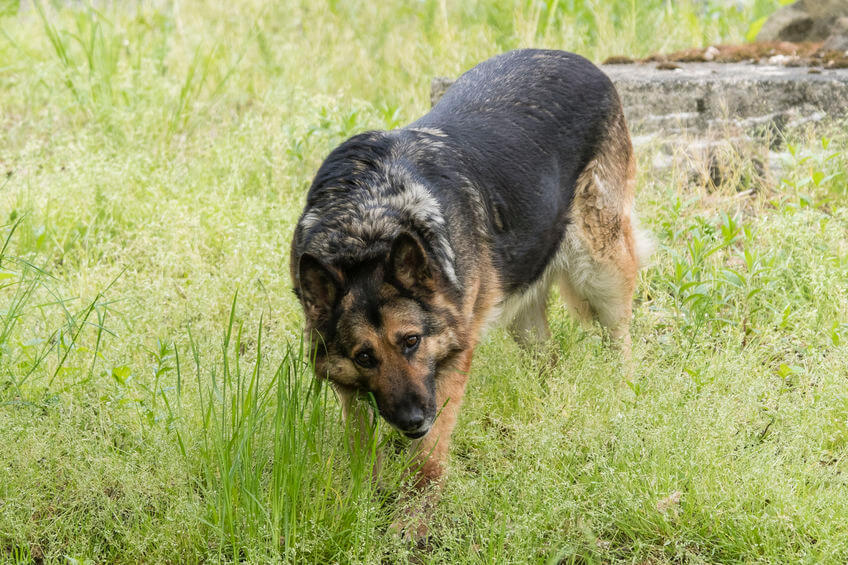 Why is My Dog Eating Grass All of a Sudden? Info for Pet Parents