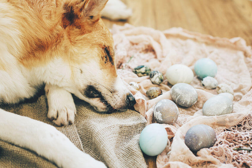 dog with decorated hard boiled eggs | Ultimate Pet Nutrition