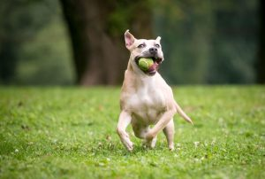 bull terrior playing with ball | Ultimate Pet Nutrition