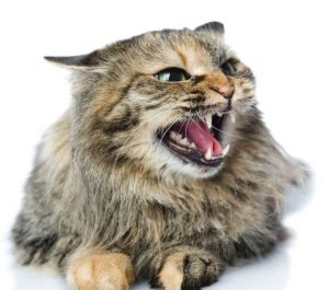 angry cat | Ultimate Pet Nutrition