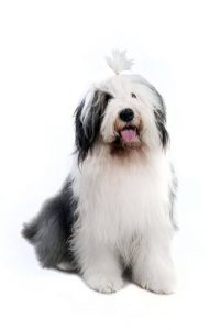 old english sheepdog | Ultimate Pet Nutrition