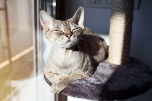 devon rex cat | Ultimate Pet Nutrition