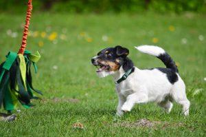 flirt pole dog toy | Ultimate Pet Nutrition