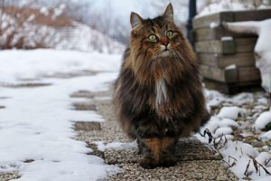 norwegian forest cat | Ultimate Pet Nutrition