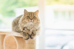 persian cat | Ultimate Pet Nutrition