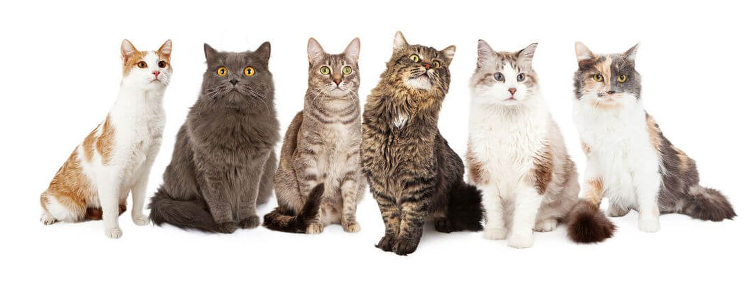 How To Choose A Cat Breed: Which Of The Popular Cat Breeds Is Your Purrfect Match?