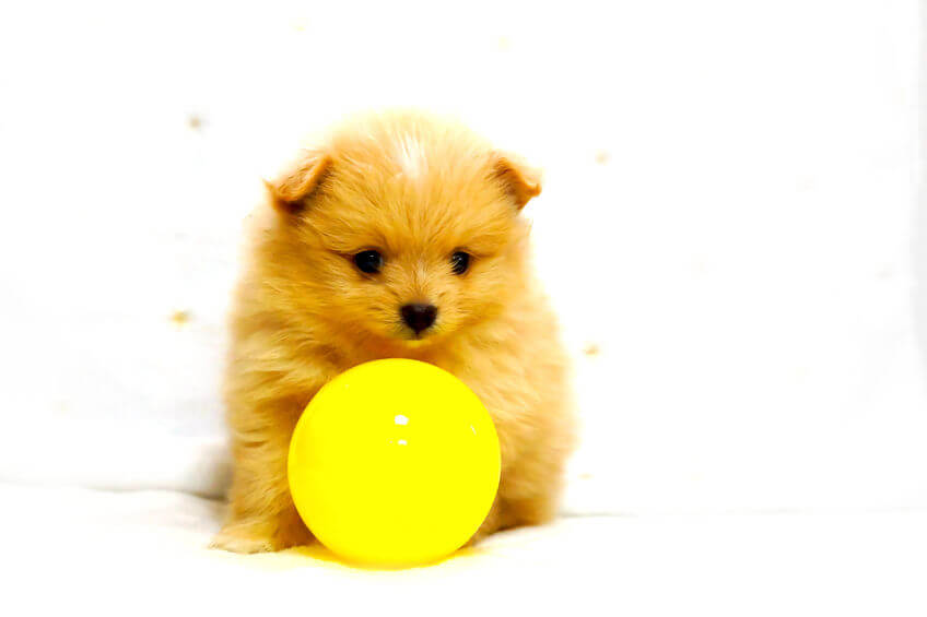 puppy with yellow ball | Ultimate Pet Nutrition