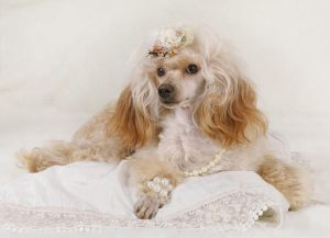 poodle with hat in bed | Ultimate Pet Nutrition